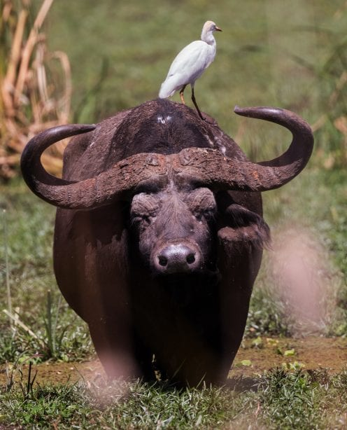 A buffalo, with white bird perched on its back